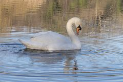 A swan on the Ornamental Lake stock photo