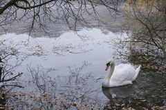 Swan on the Ornamental Pond at Southampton Common. Hampshire, UK Stock Images