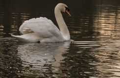 A mute swan in the early morning on the Ornamental Pond royalty free stock photos