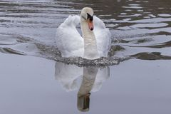 A mute swan on the Ornamental Pond stock photography