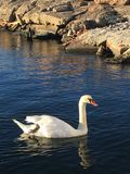 Swan in Oslo Fjord Norway royalty free stock image