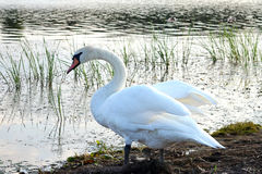 Swan with outstretched wings Royalty Free Stock Photography