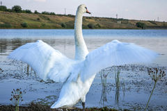 Swan with outstretched wings Royalty Free Stock Photos