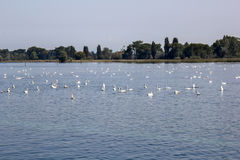 Swan overpopulation on the Lake of Constance Stock Photo