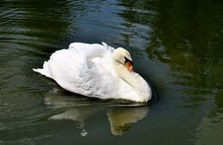 Swan på damm arkivbild
