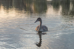 Swan på damm Arkivfoto