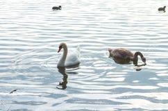 Swan på damm Royaltyfria Foton