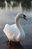 Swan på damm Arkivfoton