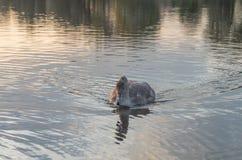 Swan på damm Fotografering för Bildbyråer