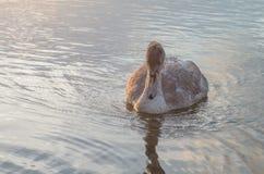 Swan på damm Royaltyfri Fotografi