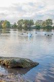 Swan på damm Royaltyfri Foto