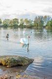 Swan på damm Royaltyfri Bild