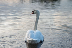 Swan på damm Royaltyfria Bilder