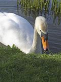 Swan på en lake Arkivbilder