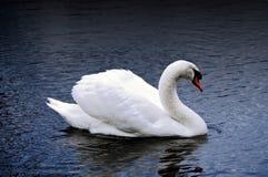 Swan på en mörk Lake royaltyfri foto