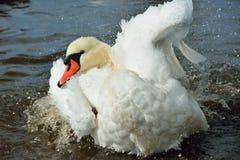Swan på floden Fotografering för Bildbyråer