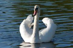Swan på floden Arkivfoton