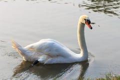 Swan på laken Royaltyfri Bild