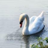 Swan på laken Royaltyfria Bilder
