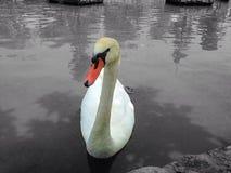 Swan på laken arkivfoto