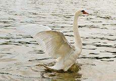 Swan på vattnet. arkivfoton