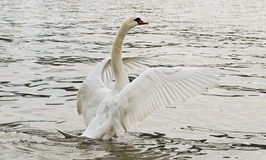 Swan på vattnet. royaltyfri foto