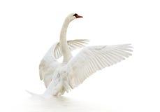 Swan på vattnet. Royaltyfri Fotografi