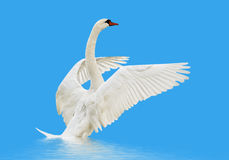 Swan på vattnet. arkivbild