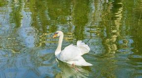Swan p? en lake royaltyfri foto