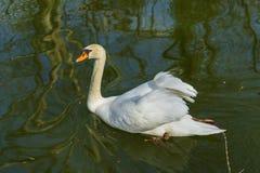 Swan p? en lake royaltyfria foton