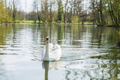 Swan p? en lake royaltyfri bild