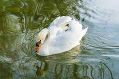 Swan p? en lake royaltyfri fotografi