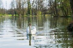 Swan p? en lake arkivbilder