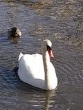 Swan p? laken arkivbild