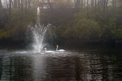 swan pływa 2 Zdjęcie Royalty Free
