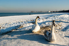 Swan pair. Swan pair in the winter scenery on the beach in Gdansk, Poland. Europe, the Baltic Sea coast Royalty Free Stock Photo