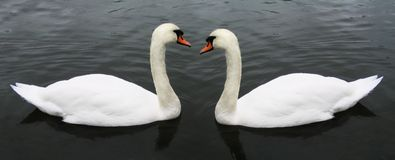 Swan pair. Two swans on a lake stock images