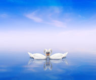 A swan pair on a blue background. A swan pair on a blue water background Stock Photos