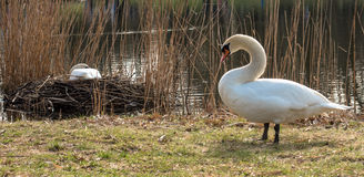 Swan pair breeds in nest. In spring Royalty Free Stock Images