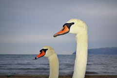 Swan pair closeup royalty free stock photos