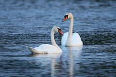 Swan pair on the lake in their nature habitat Stock Photos