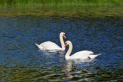 Swan pair Royalty Free Stock Photos