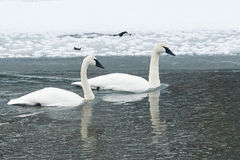 Swan Pair with Reflection in Icy River Royalty Free Stock Photos