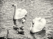 Swan parents with her youngs in the water, colorless Stock Photography
