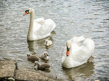 Swan parents with her youngs in the water Royalty Free Stock Photos