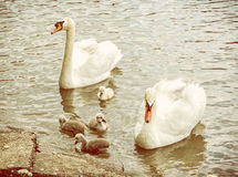 Swan parents with her youngs in the water, yellow filter Stock Images