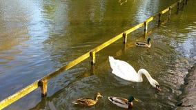 Swan. At the park Stock Photos