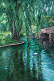 Swan in a Park Pond. A white swan swims in a park pond amid reflections of a weeping willow tree Royalty Free Stock Image