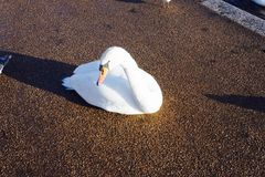 Swan. In a park street in London Royalty Free Stock Images