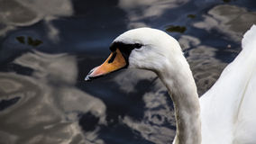 Swan in the Park Royalty Free Stock Images
